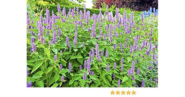 Schmetterlingslakritz Anisysop 50 Samen