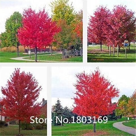 2016 JAPONAIS GRAINES RED MAPLE TREE, feuillage plantes graines d'arbres de l'érable, feuilles pourpres rares, 30 particules / sac Mix Couleurs