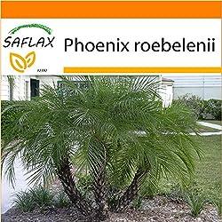SAFLAX - Garden in the Bag - Zwerg - Dattelpalme - 25 Samen - Phoenix roebelenii
