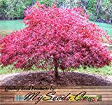 Rote Spitze Blatt Japanischer Ahorn - Acer palmatum matsumurae Atropurpureum dissectum SEEDS - Seeds von MS.CO
