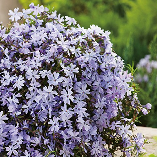 Blüte Grün-teppich (Blaue Staude Polsterphlox -phlox subulata- Bodendecker blaue Blüten immergrün winterhart mehrjährig pflegeleicht - Garten Schlüter - Pflanzen in Top Qualität)