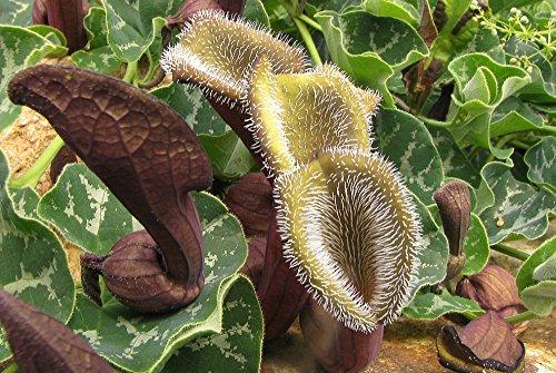 saflax-chilenische-gespensterpflanze-aristolochia-chilensis-10-samen