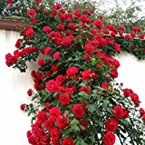 Bonsai Plant Seeds – Red Rose Tree Seeds Bonsai Seeds (Pack Of 5) For Home Décor-by Creative Farmer