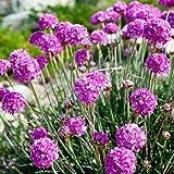 Sea Thrift, Sea Pink seeds - Armeria maritima - 90 semillas