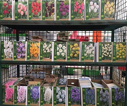100 BIO Blumenzwiebel verschiedene schöne Sorten