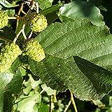 Go Garden 10 + Extra: Schwarzerle Alnus Glutinosa 10,20,50 Seeds