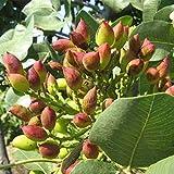 Kaimus Semillas 5 unids semillas de Nueces de Pistacho Bonsai Semillas de árboles de Nuez rara jardín de inicio de siembra al aire libre