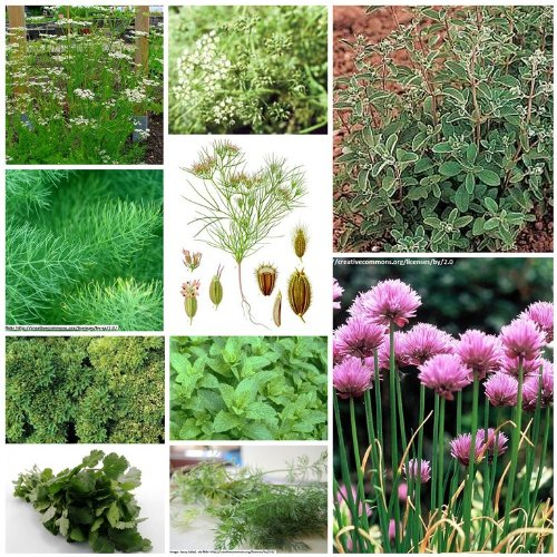 10-packs-of-herb-seeds-herb-garden-collection