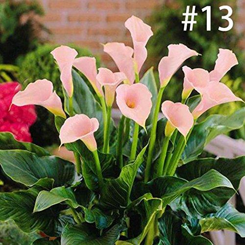 ZEARO 100 pcs Graines de Calla Lily Rare Graines De Fleurs de Decoration Bonsaï Plante En Pot Plantes Vivaces pour maison, jardin, extérieur, intérieur - 17 couleurs à choisir