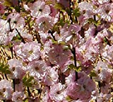Prunus triloba - (Mandelbäumchen)- Containerware 40-60 cm