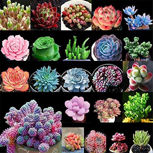 XIYAO Graines Succulentes -100 graines, décoration de Bureau de Jardin de graines de Plantes bonsaï