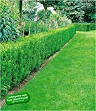 BALDUR-Garten Eiben-Hecke, 1 Pflanze Taxus baccata winterhart Heckenpflanze immergrün