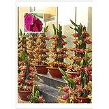 Paquete original, 15 semillas / paquete, Pitaya rojo dentro de Red exterior, dulce fruta del dragón, Pitaya Cactus, muy delic