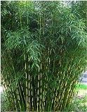 Blumen-Senf Horstbildender Fargesia robusta 'Campbell' Bambus 30-50 cm - Hoher Heckenbambus (5)