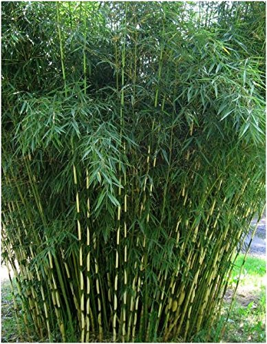 Blumen-Senf Horstbildender Fargesia robusta 'Campbell' Bambus 30-50 cm - Hoher Heckenbambus (1) (Blumen Bambus)