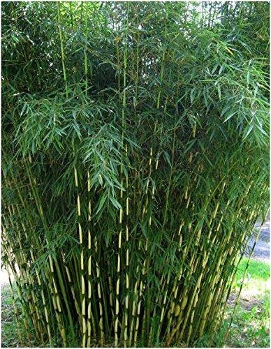 fargesia hecke Blumen-Senf Horstbildender Fargesia robusta 'Campbell' Bambus 30-50 cm - Hoher Heckenbambus (5)