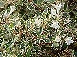 Abelia Variegata Bianco Verde Pianta in vaso di Abelia Variegata Bianco Verde - 3 Piante in vaso 7x7