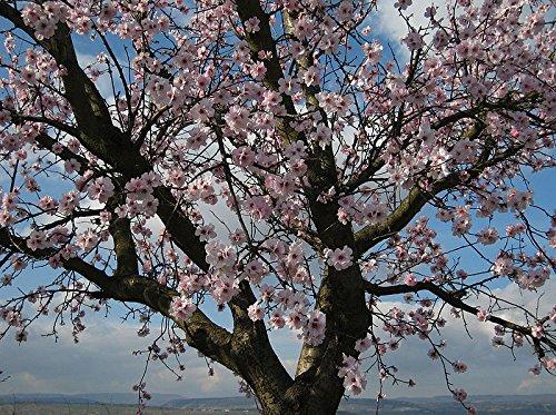 Galleria fotografica I veri Almond -Almondtree- 6 Big semi * dulcis Prunus *