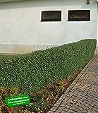 BALDUR-Garten Schwarzgrüner Liguster 'Atrovirens', 1 Pflanze Ligustrum vulgare Atrovirens Heckenpflanze