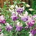 Winterharte Fuchsie Delta Sahra, 4 Pflanzen von Amazon.de Pflanzenservice bei Du und dein Garten