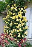 Gelbe Kletterrose - Rose
