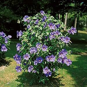 dominik blumen und pflanzen hibiskus str ucher sortiment je 1 stauch blau rot und wei. Black Bedroom Furniture Sets. Home Design Ideas