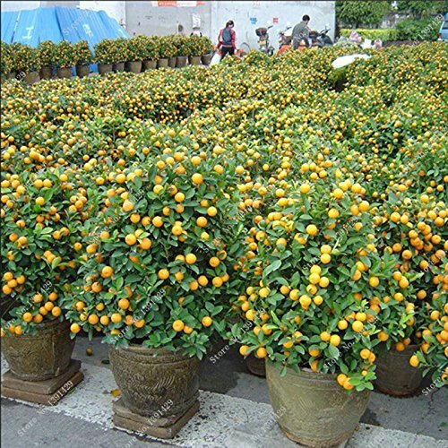 naines comestibles graines de fruits Bonsai, graines Mandarin Citrus Orange Balcon Patio pot arbres fruitiers Kumquat Graines 10pcs / bag