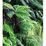 Dicksonia blumei Moore - helecho árbol - 100 semillas