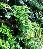 Dicksonia blumei Moore - fougère arborescente - 100 graines