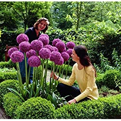 UPSTONE Garten - Riesen Zierlauch Sternkugel Lauch Allium giganteum Blumenlauch mehrjährig winterhart (50, Rot globemaster)
