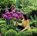 RIESEN ZIERLAUCH (Allium giganteum) - 30 Samen / Pack - dekorative und winterharte Zierpflanze für den Garten: