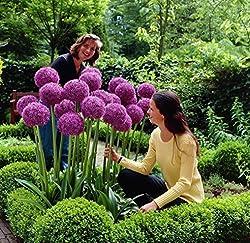 Riesen Zierlauch (Allium Giganteum) - 50 Samen Pack - Winterharte Zierpflanze Für Den Garten - Mehrjährig