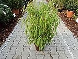 Gartenbambus - Fargesia murielae - Neue Generation - lockerer Sichtschutz - 40-60 cm