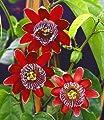 """BALDUR-Garten Passionsblume """"Alata"""",1 Pflanze Passiflora caerulea von Baldur-Garten bei Du und dein Garten"""