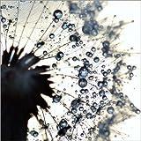 Posterlounge Acrylglasbild 50 x 50 cm: Pusteblume Wassertropfen rund von Julia Delgado - Wandbild, Acryl Glasbild, Druck auf Acryl Glas Bild