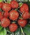 BALDUR-Garten Erdbeere Hummi®´s® 'Sengana Selektion', 6 Pflanzen Fragaria von Baldur-Garten - Du und dein Garten