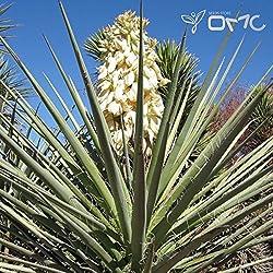(10 Samen) Yucca Baccata/Blue Banana Yucca/Banana Yucca, Spanisch-Bajonett