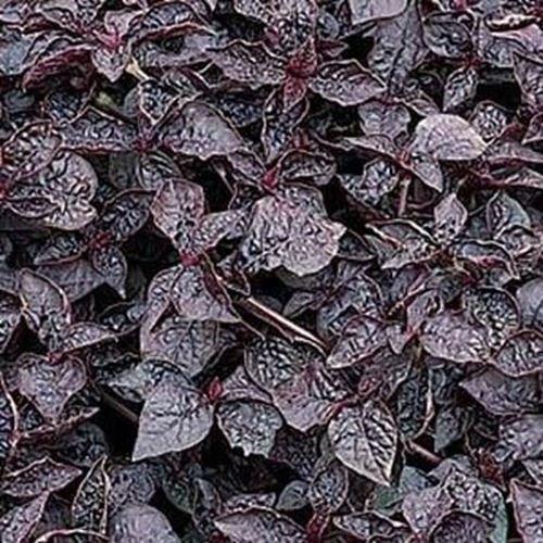 15 Samen - Iresine Lila Lady Blumensamen