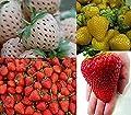Erdbeeren-Sortiment XXL (Weisse+Gelbe+Rote+Riesenerdbeeren) 200++ Samen (Die Gartensensation) von Xuanqin - Du und dein Garten