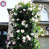100pcs / sac d'escalade Mandevilla graines Sanderi, graines de DIPLADENIA, Bonsai Fleur des plantes pour la décoration maison et pot mur de la cour 4