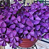 Pinkdose® Super1798 10 Stücke Shamrock Oxalis Triangularis Zwiebeln Blatt Blumensamen Gartenpflanze