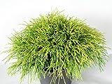 Gelbe Fadenzypresse - Chamaecyparis pis. Sungold. 20-25cm hoch. 1 Pflanze im 2 Liter Topf