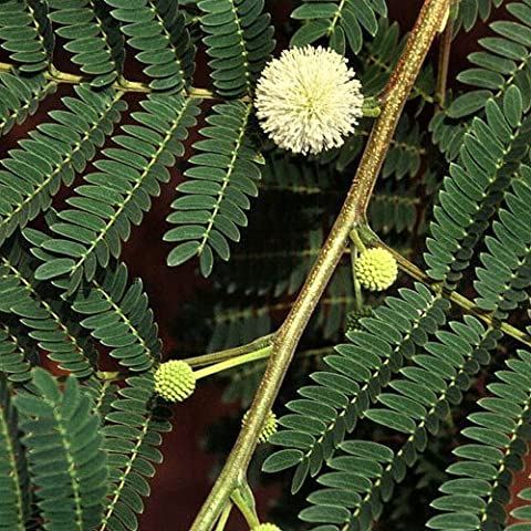 Leucaenea Leucocephala