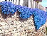 100pcs / bag Creeping Thyme Samen oder Blau-Felsen-Kresse-Samen-Staude Bodendecker Exotische Samen Blumensamen Pflanze Hausgarten