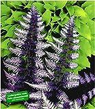 BALDUR-Garten Winterharter Schmuck-Farn 'Japanese Painting', 3 Pflanzen Athyrium