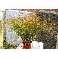 Carex HachijoensisEvergold   Japanische Segge   Ziergräser Winterhart  Immergrün Mehrjährig Im 12 Cm Topf Für Balkonkasten, Steingarten,  Grabbepflanzung, ...