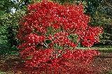 ACERO ROSSO GIAPPONESE'Acer Palmatum Autumn Red' vaso 20 altezza 40/80 cm