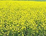 Weißer Senf - Echter Senf - Gelber Senf - 2000 Samen