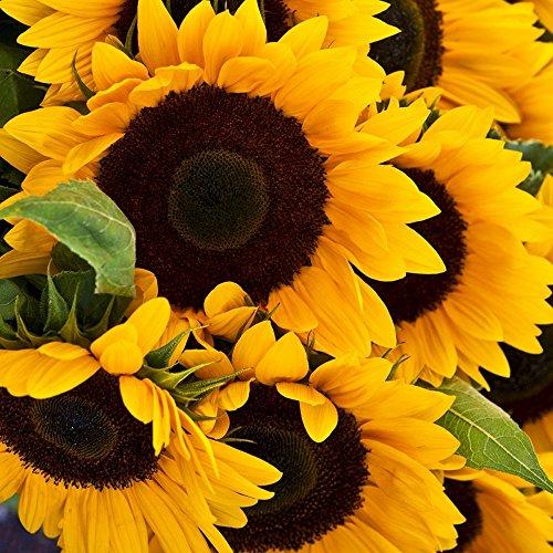 Riesensonnenblume - Sonnenblume- Henry Wilde - bis 2,50 Meter - mehrstielig - Großpackung - 200 Samen