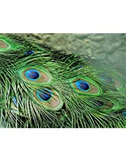 Nutristar Peacock Feather | More Pankh |Feather Tails | Original Full Length | Pack of 12 Feathers with Improved Packing.